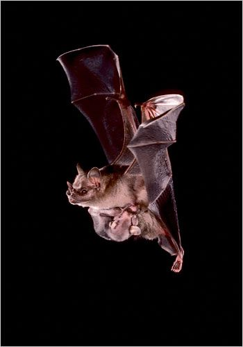 "A mother Jamaican fruit eating bat carrying her baby while flying. Chiroptera, the order of mammals containing bats, means ""hand wing"". Photo: Bat Conservation International."