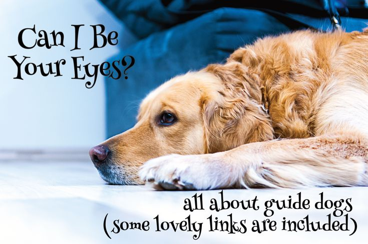 Can I be your eyes? Read up all about guide dogs and there are some lovely links included. #dogs #guidedogs #pets https://petztrax.wordpress.com/2015/08/11/can-i-be-your-eyes/