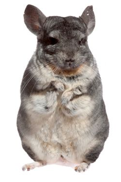 Chinchilla care - photo#32