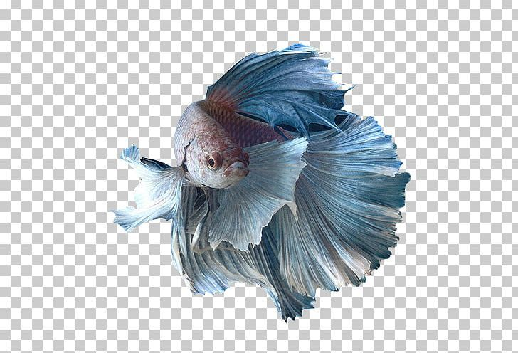 Siamese Fighting Fish Honey Gourami Spotfin Betta Goldfish Png Animals Aquarium Betta Blue Breed Siamese Fighting Fish Betta Fish Psd Texture