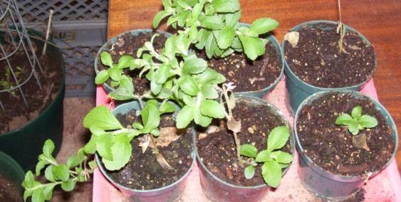 La stevia: il dolcificante naturale alternativo allo zucchero a calorie zero