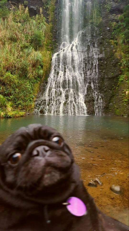 Pug in paradise.