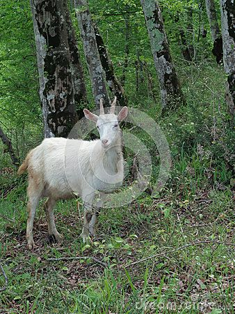 White goat grazing in the forest on the grass among green trees