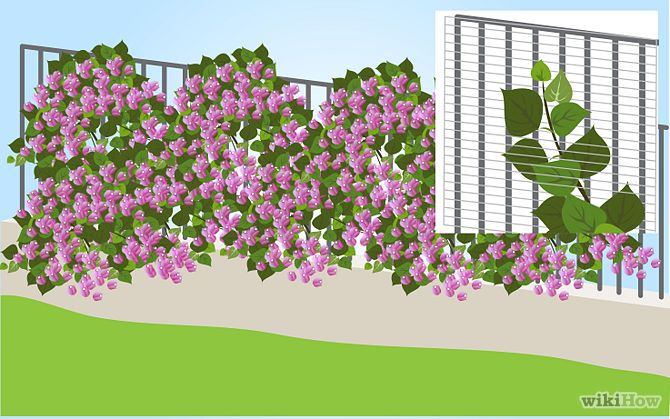 Growing Bougainvillea on a trellis
