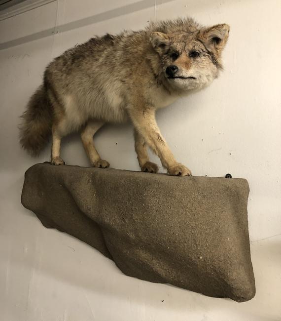 Taxidermy Coyote On Rock Wall Mount Rock Wall Deer Mounts Vintage Walls