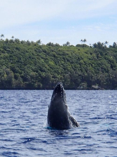 100 Days of Adventure Stories – Day 9. Last Vignette from Tonga: Swimming with...