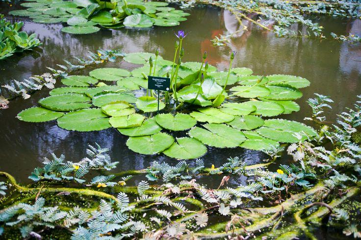 orto botanico di Padova  piante acquatiche