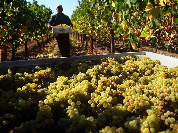 A worker harvesting chardonnay grapes at a vineyard Chile