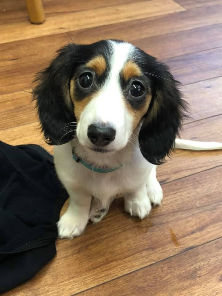 Cute Dachshund Puppy Sausage Dog Dachshund Puppy Doxie Weiner Dog Mini Dachshund Dachshund Mom Dog Mom Miniatu Dachshund Breed Daschund Puppies Dachshund Dog