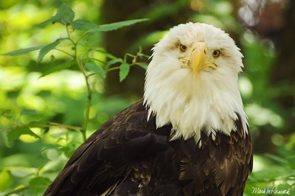 Bald Eagle in the Great Smoky National Parks.: Bald Eagle, Smokey Mountain, Smoky Mountain