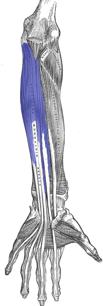 "Flexor digitorum profundus (wrist, digits 2 - 5) originates in the upper 3/4 of the anterior/medial ulna, interosseous membrane, and deep fascia. ""The muscle fans out into four tendons to the palmar base of the distal phalanx. Along with the flexor digitorum superficialis, it has long tendons that run down the arm and through the carpal tunnel and attach to the palmar side of the phalanges of the fingers."""