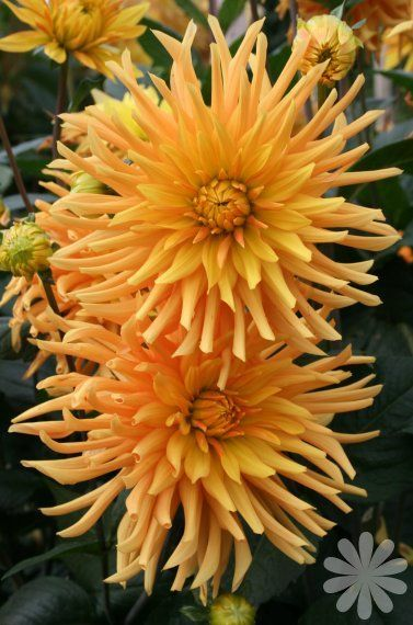 **Dahlia 'Ludwig Helfert' beautiful ornamental flower