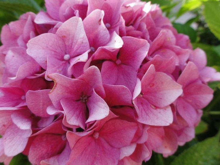Mejores 136 im genes de flores en pinterest arreglos for Cuidar hortensias exterior