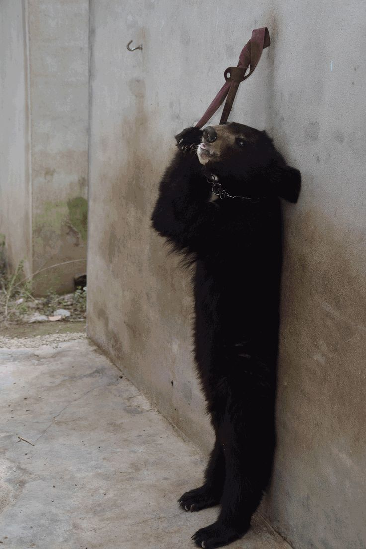 PETA Asia found appalling abuse, decrepit living conditions, and animals suffering on a massive scale in the Chinese circus industry. Take action now!  Please boycott all circuses using animals. Thank you!