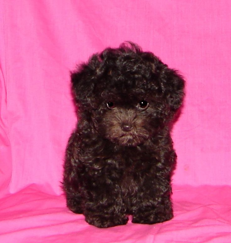 chocolate teacup maltipoo - photo #1