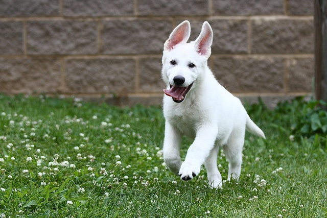 my boy when he was a puppy!: White German, Gsd S, My Boys, Dogs Beautiful German, Puppies Joy, Favorite Dogs, Gsd White, Shepherd Dogs, White Dogs