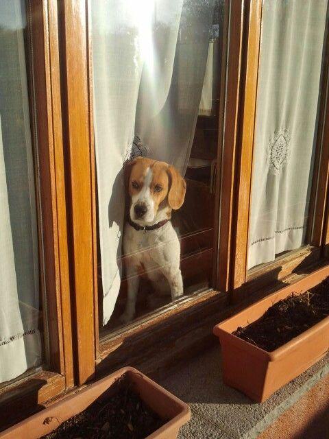 Wait #beagles