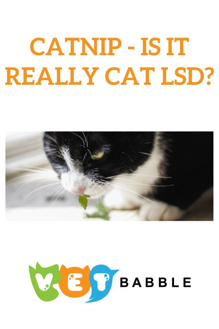 Catnip Plant Effects On Cats Is It Safe With Images Catnip Plant Catnip Cats