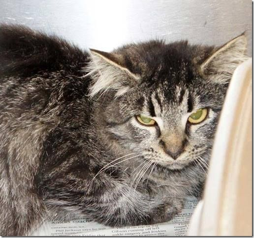 *KILLED OCTOBER 30>Crossposting to save lives: Sammi: Tabby beauty trapped at school needs rescue or adoption from Cabarrus County shelter