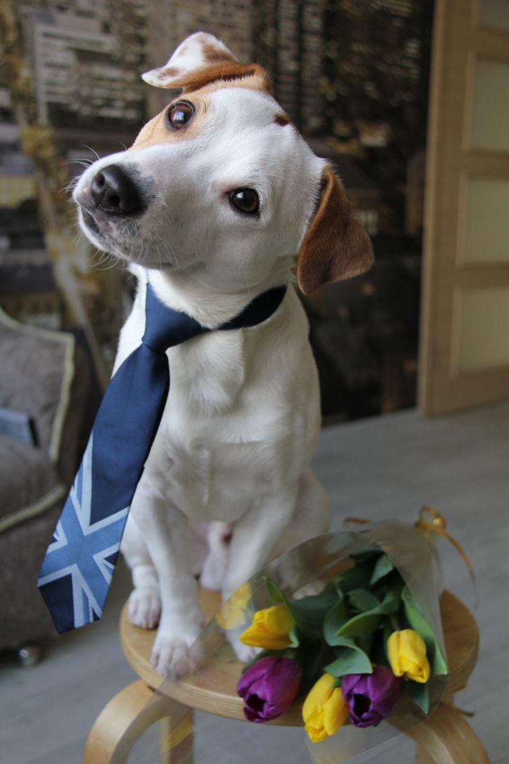 This Jack is ready for his date!  All dressed up, wearing a tie, with a bouquet of posies for his sweetie, right next to him.  Such a gentlemanly breed, indeed!  ;)