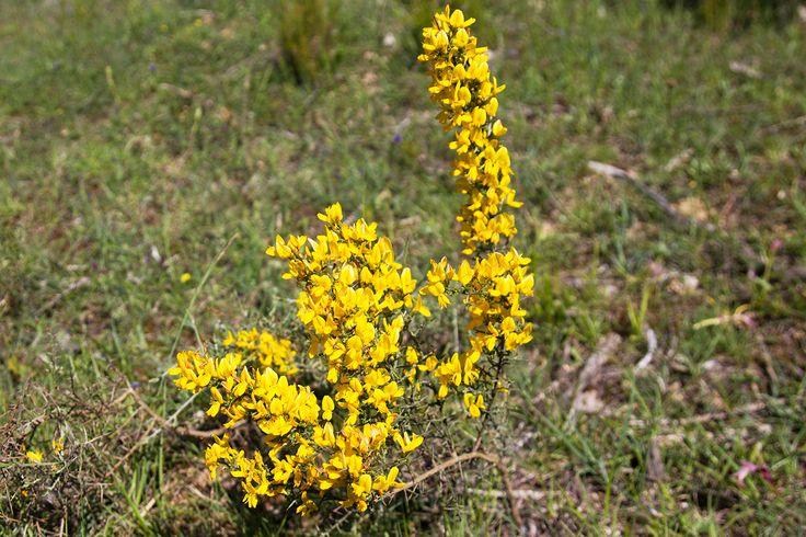 Les #genêts sont des arbustes ou arbrisseaux appartenant à la famille des #Fabaceae.