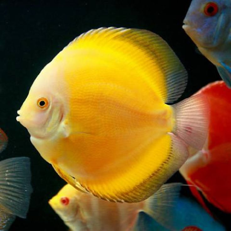 25 best ideas about discus on pinterest discus fish for Discus fish price