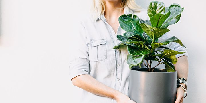 Fiddle leaf fig bambino plant care guide the fiddle
