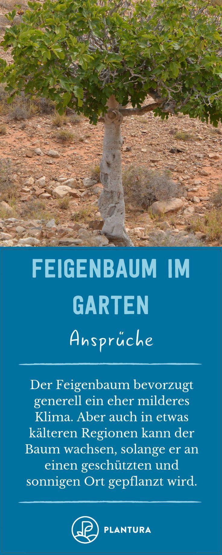 Feigenbaum Alles Was Man Zur Feige Im Garten Wissen Muss Feigenbaum Feigenbaum Pflege Feigenbaum Pflanzen