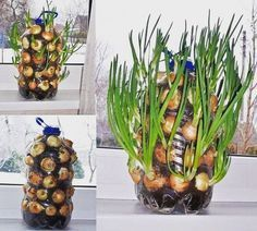 Ada yang menanam bawang di rumah? Nih salah satu contoh bawang yang ditanam dengan menggunakan botol bekas. Modelnya seperti vertikultur namun lebih sederhana sobat. . . . #IndmiraPic #Indmira #hydroponics #aquaponics #aqua #plantation #organicproducts #urbanfarming #vertikultur #verticalfarming #hidroponik #hidroponikindonesia #akuaponik #menanam #planting #gogreen #saveearth #savewater #noplastic #nolitering by indmira