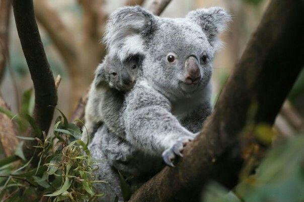 Когда детеныш коалы подрастает и становиться слишком велик для сумки, мама продолжает носить его, но уже на спине.