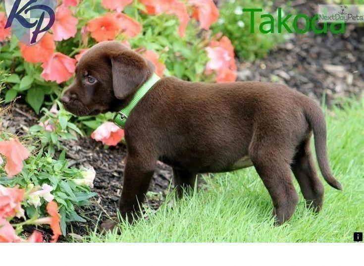 Pin By Ernest Somogy On K 9z In 2020 Labrador Retriever Puppies Dogs Hugging Labrador Puppy