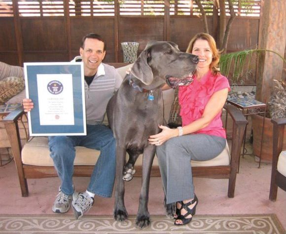 Giant George: Guinness World's Tallest Living Dog and Tallest Dog Ever Recorded (Photos)