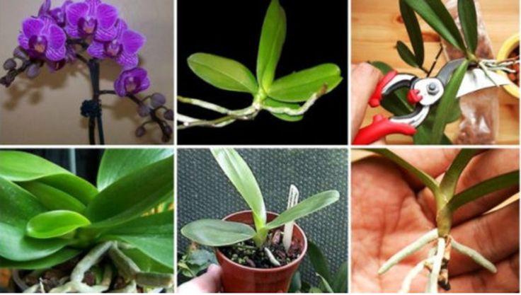 Sfaturi de la specialisti. Cum se înmulțește orhideea: trei metode sigure  Orhideele se află cu siguranță printre cele mai iubite flori. Despre înmulțirea acestora trebuie să știți că o puteți face acasă, singuri, fără niciun fel