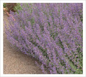 Nepeta racemosa 'Walkers Low' | Lambley Nursery