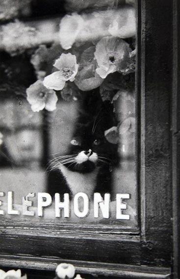 Le Chat du Fleuriste by Brassaï, 1938