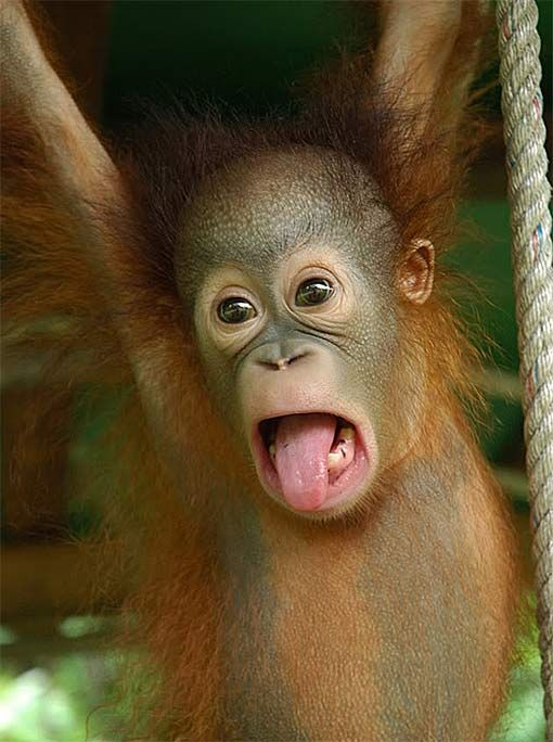 baby orangutans enjoy the early years with mom baby animal zoo s sse tiere pinterest. Black Bedroom Furniture Sets. Home Design Ideas