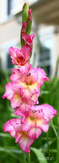 Pink and Yellow Gladiolas.  I had these as my Wedding flower, they are the flower of the month of August.