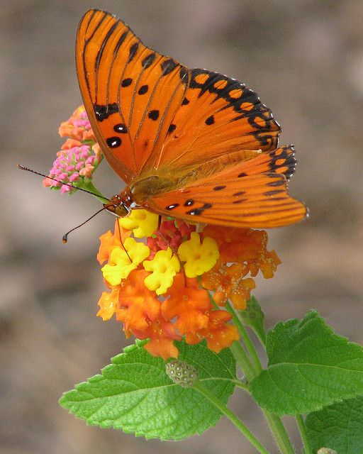 a burst of orange - Gulf Fritillary