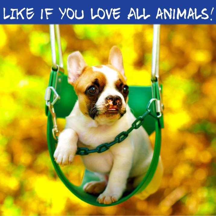 """Like if You LOVE All Animals!"", Lentil Bean, the French Bulldog Puppy"