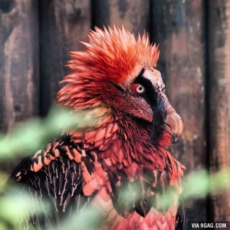 The Bearded Vulture, also called the Lammergeier. It feeds primarily on bones