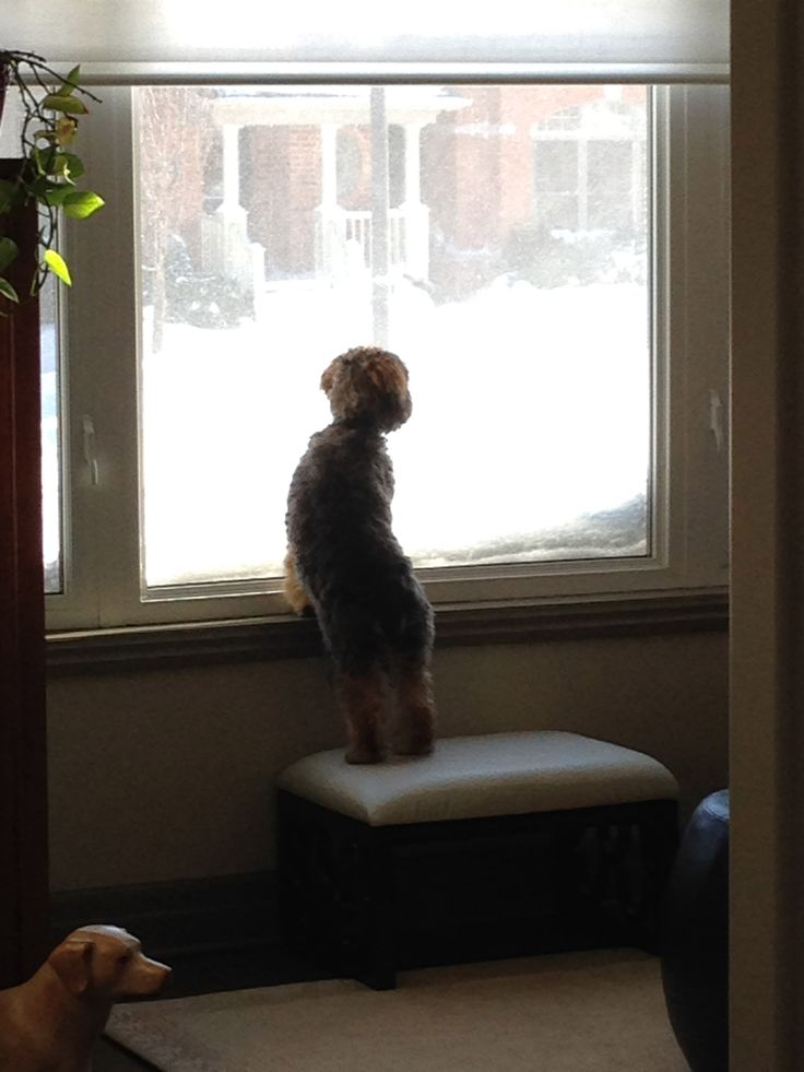 So exciting, the snow plow is coming!!! #snow #cockapoo #exciting