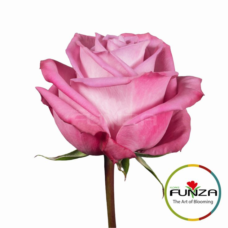Lavender Rose from Flores Funza. Variety: Moody Blues, Availability: Year-round