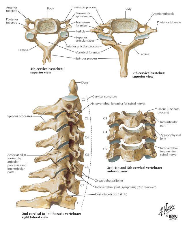 Best 25+ Cervical vertebrae ideas on Pinterest