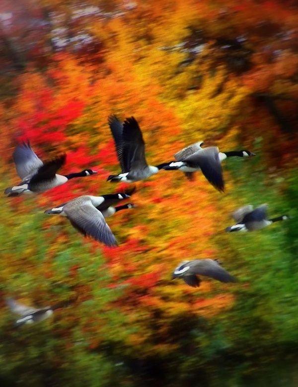 Fall, Canada Geese ⛵⛵⛵