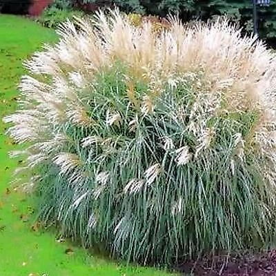 40+ Chinese Silver Grass Early Hybrids Seeds , Under The Sun Seeds