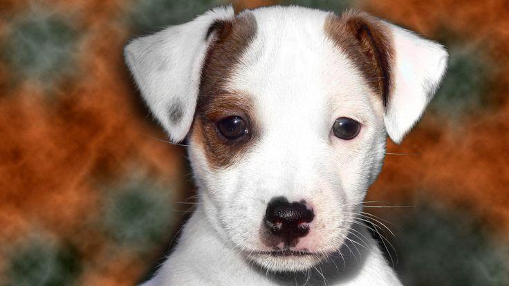 Le Jack Russell terrier, un chasseur de renards
