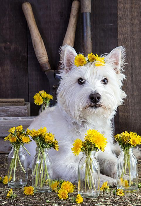 635 Best Images About Westies On Pinterest White Terrier
