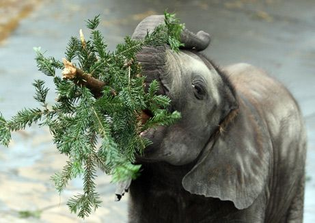 Elephant, Elephant, Elephant Baby: Elephant Love, Baby Elephants, Christmas Holidays, Animals ❷ Elephants Aardvarks, Blog, Christmas Trees, Christmastree December