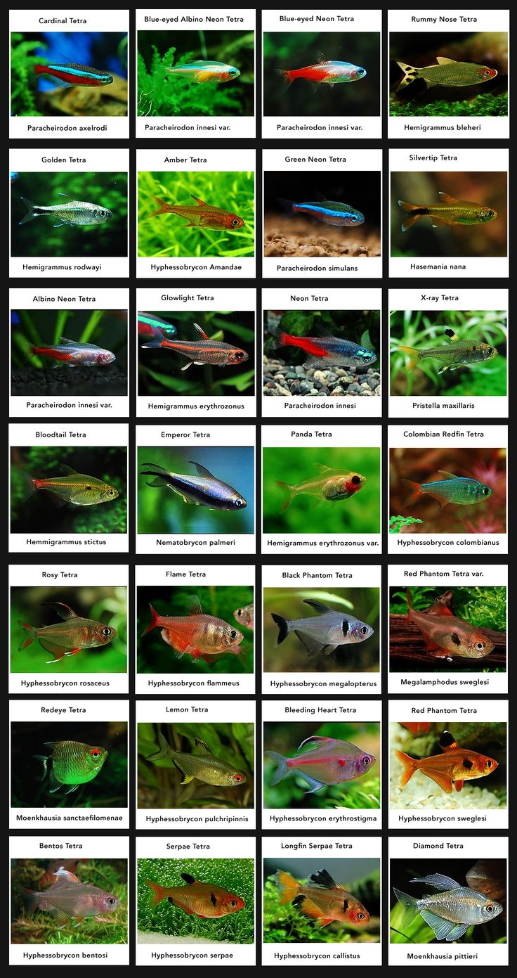 Tetras (For Classic South American Community Aquarium)