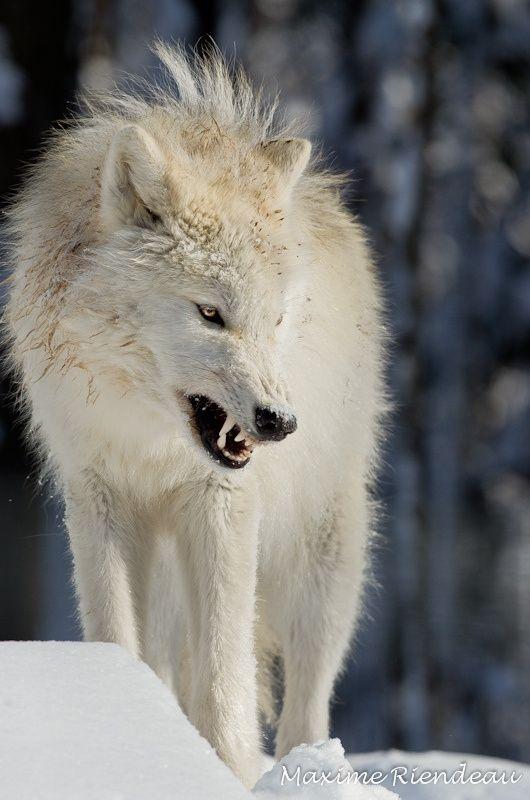 Sumisión activa: un animal sumiso se acercará activamente a otro lobo en una postura baja y ligeramente agazapada, sostendrá sus orejas detrás y cerca de sus cabeza y mantendrá su cola baja. El lobo sumiso meneará su cola o su cuarto trasero e intentará el comportamiento dócil de un cachorro para lamer el hocico del lobo dominante. La sumisión activa ocurre durante un saludo individual o en interacciones de grupos.